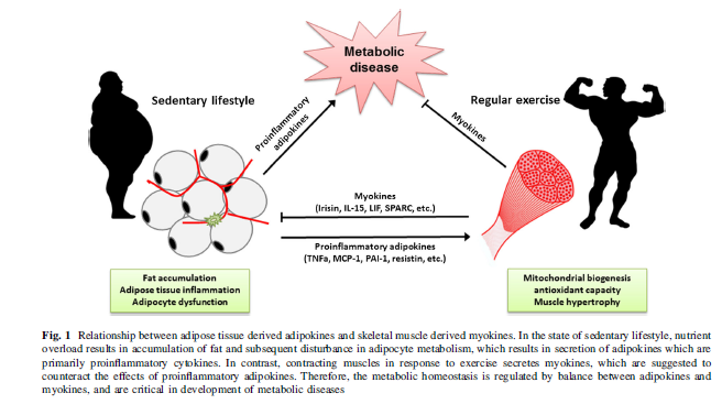 Myokines~Why Intense Exercise is King