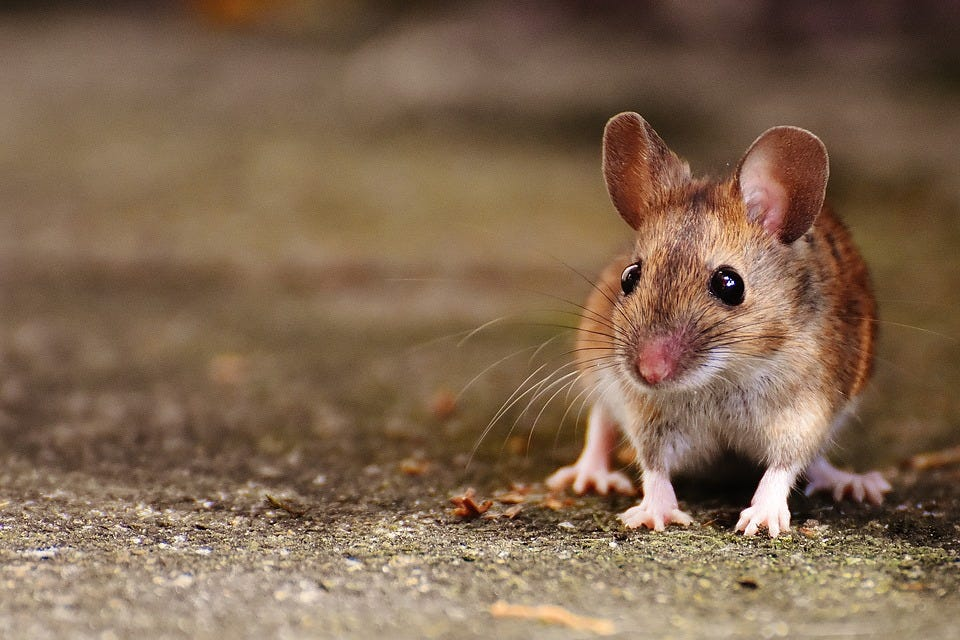 Image result for mouse cute