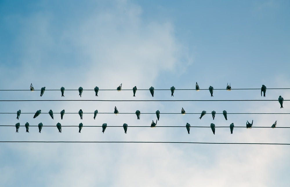 flock of birds on electric wire