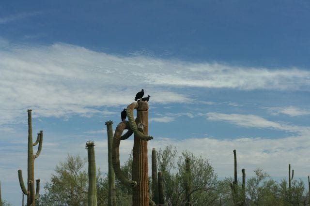 black vultures in a saguaro on the Mexican border