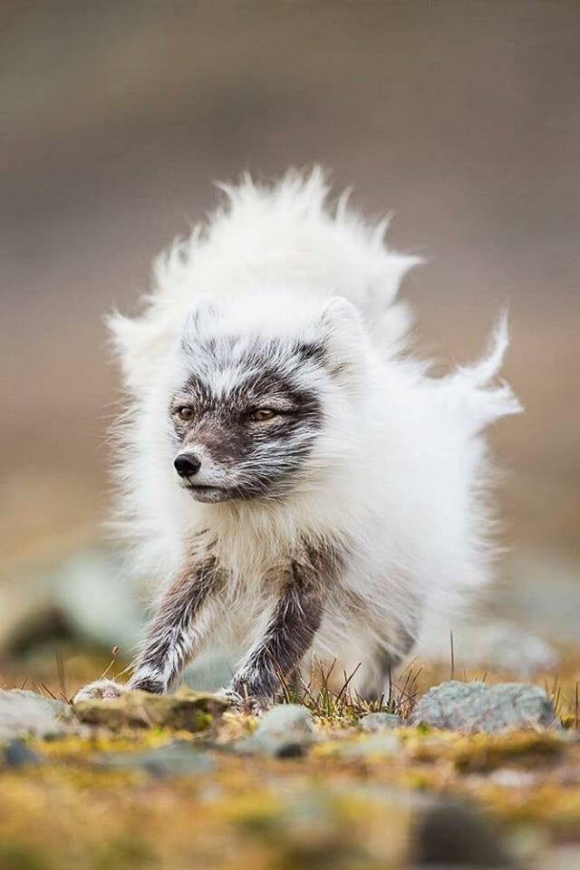Fox shedding fur
