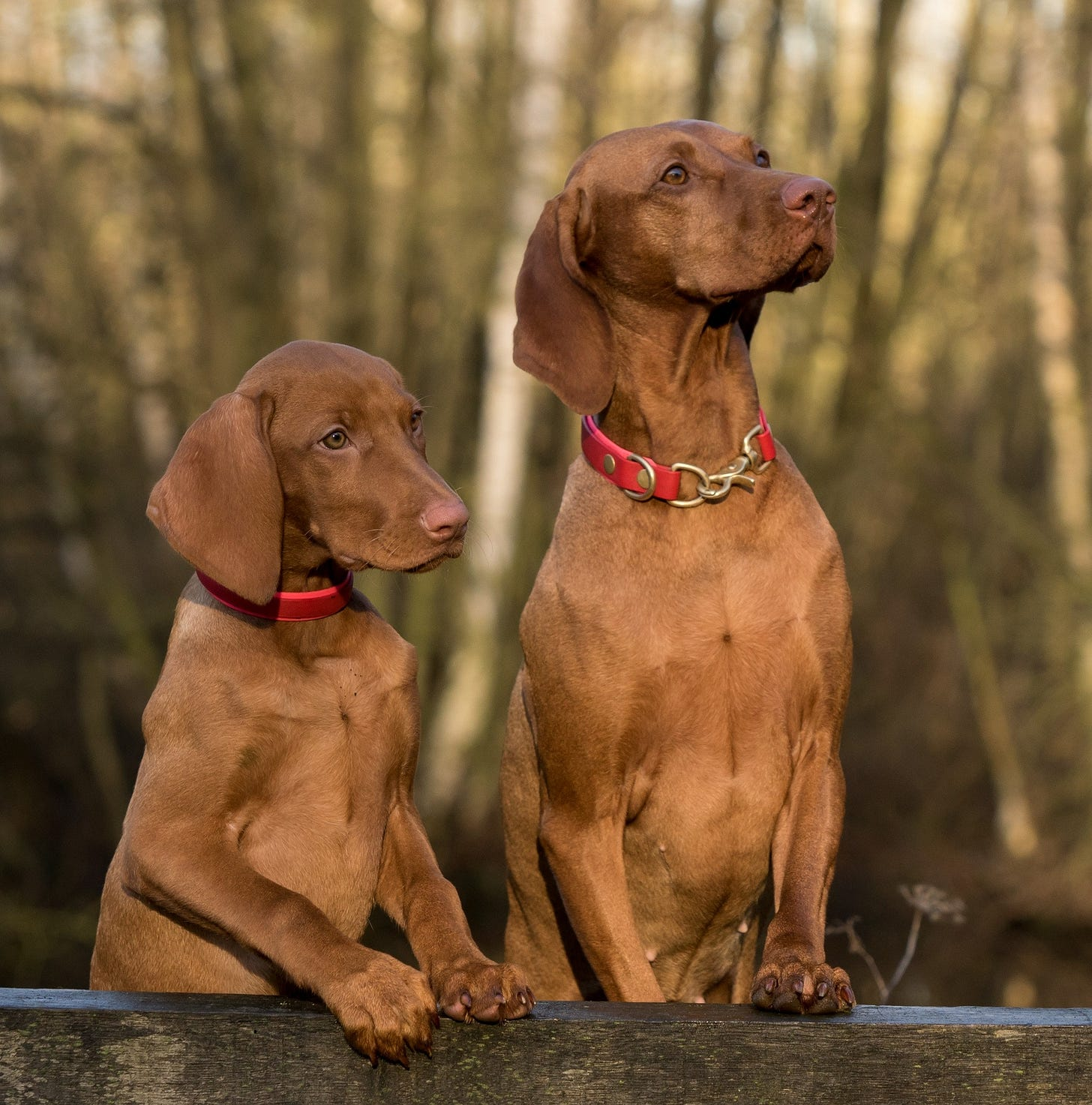Two hunting dogs each with their two front paws resting on a low stone wall so they look like they'Re standing talking to each other. One is older than the other