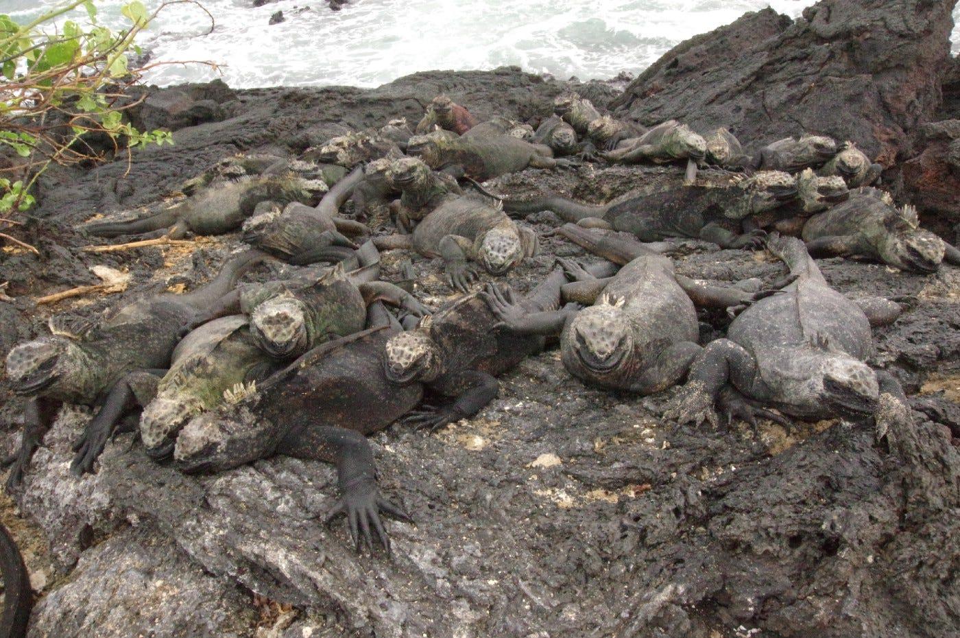 Pile o' marine iguanas. Photo by Bret, March 2016.