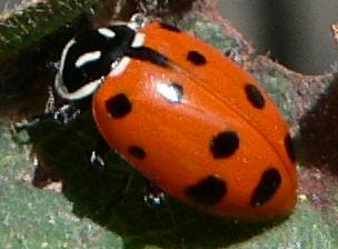 File:Hippodamia convergens 08085.JPG - Wikimedia Commons