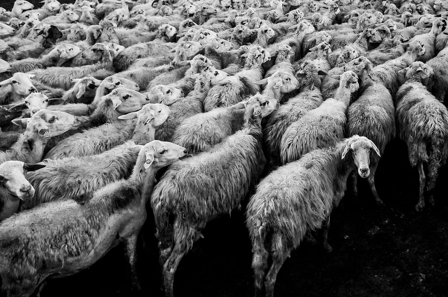 Herd of sheep for article by Larry G. Maguire