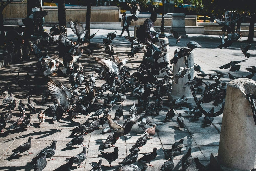 pigeons flocking at the park with sitting person