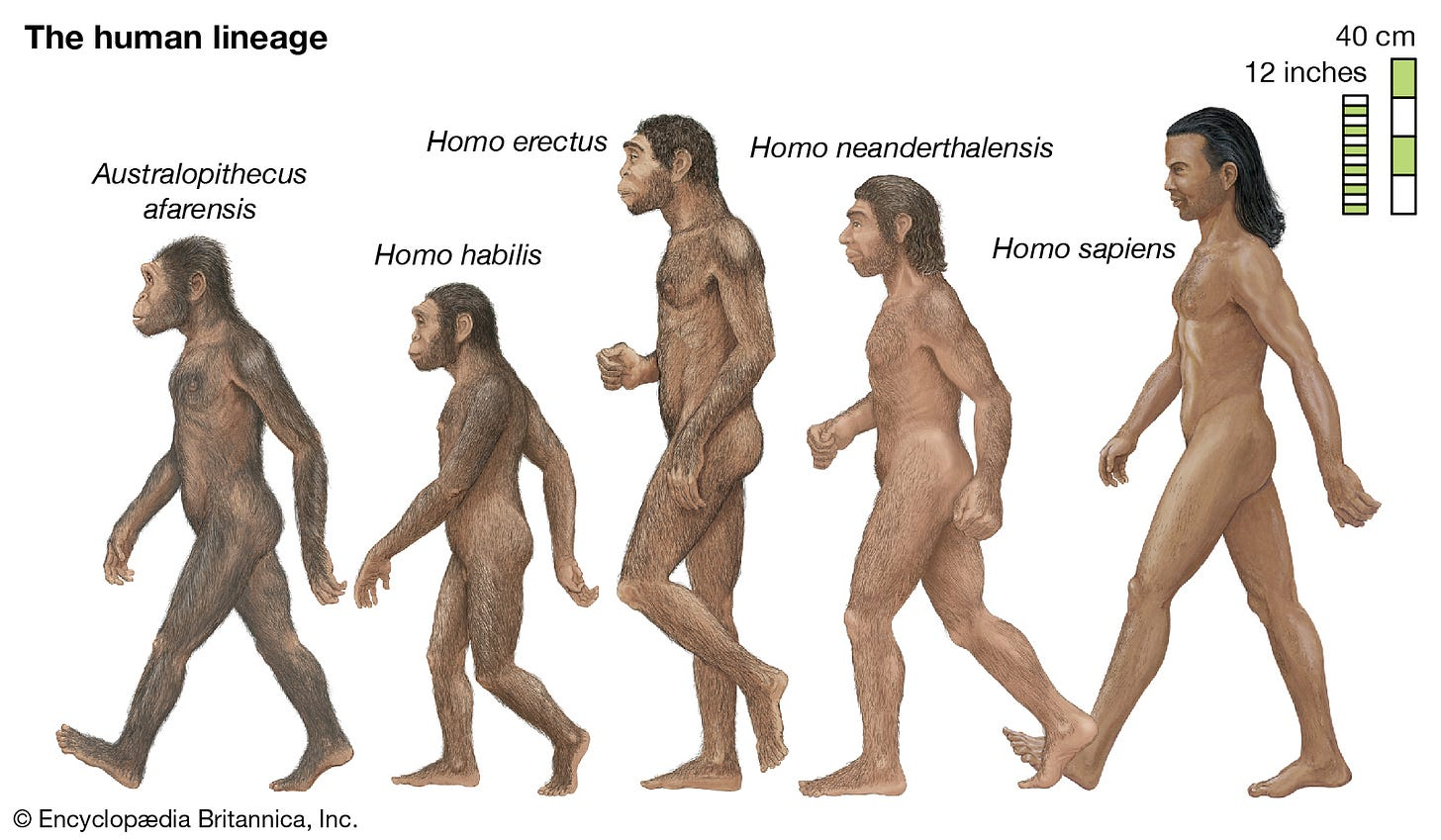 human evolution | History, Stages, Timeline, Tree, Chart, & Facts |  Britannica