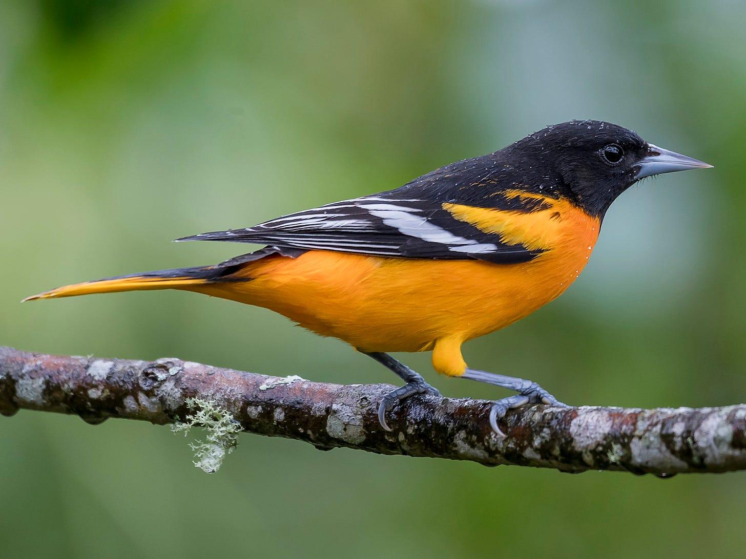 Baltimore Oriole - eBird