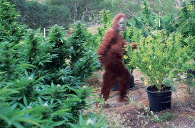 Bigfoot Captured on his Illegal Marijuana Cultivation Site in Humboldt  County - Active NorCal