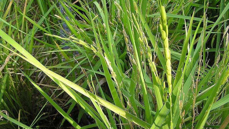 Oryza sativa L. | Plants of the World Online | Kew Science