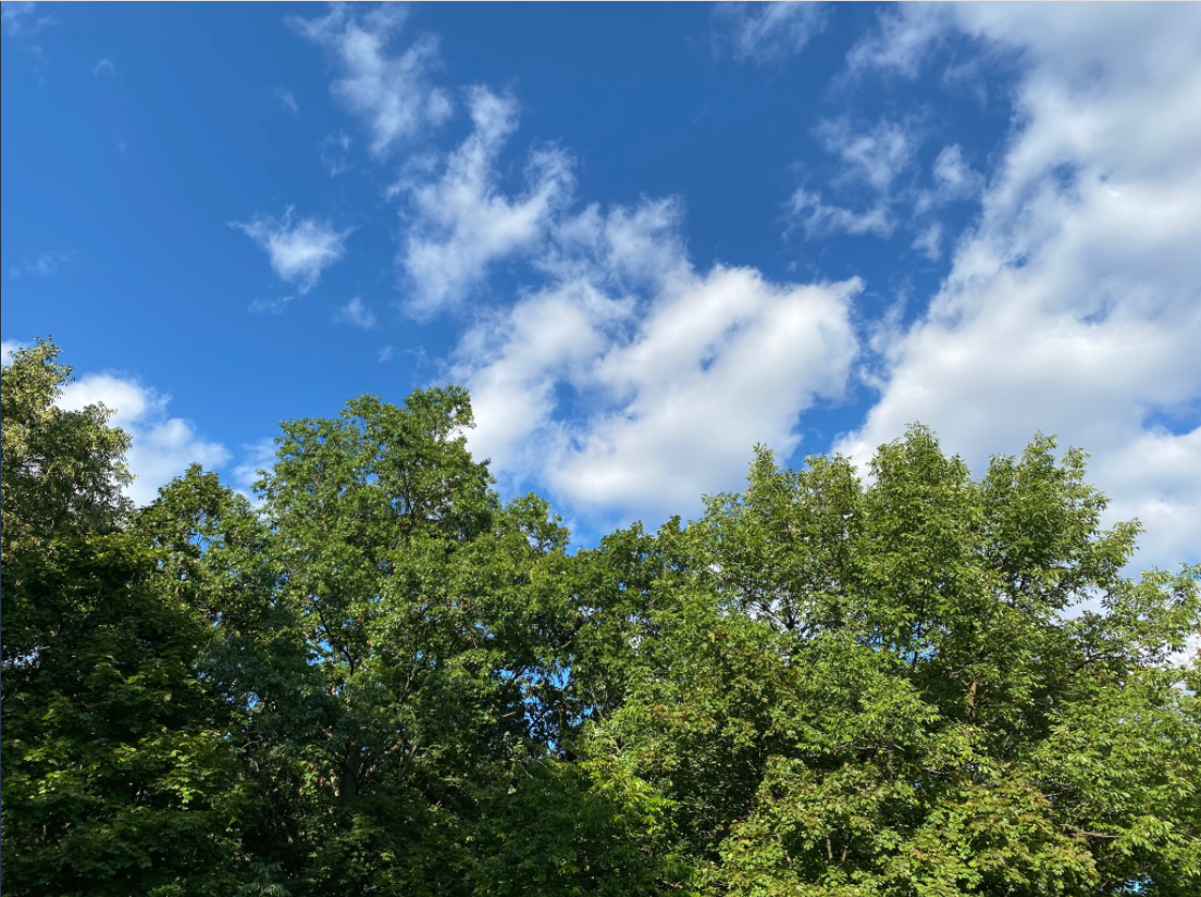 Tree tops, including an oak, maple, and cherry, against a blue sky and white clouds.