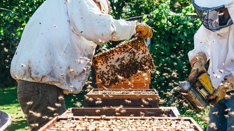 Beekeepers, suited and booted, in an apiary and surrounded by swarms of bees.