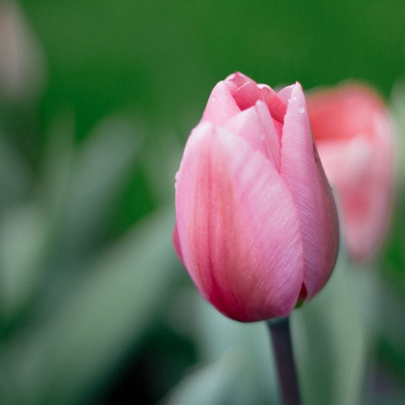 Keukenhof Tulip