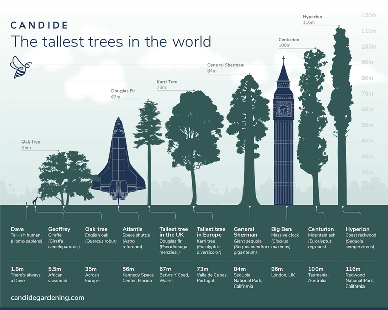 The Tallest Trees in the World - Discover   Candide Gardening