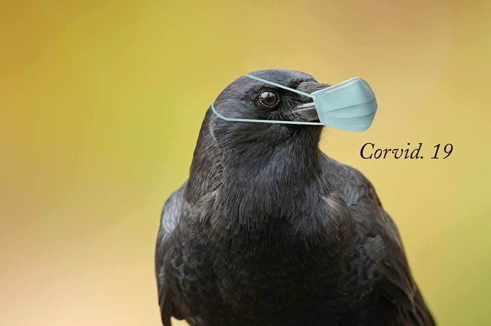 Image may contain: bird, possible text that says 'Corvid. 19'