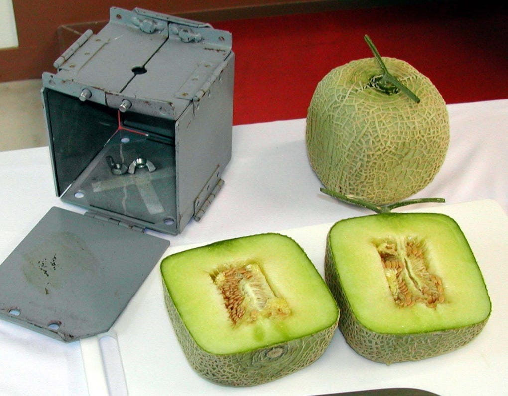 Square melons? Japan's luxury fruit masters grow money on trees | CTV News