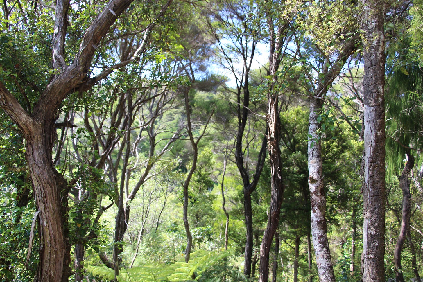 native bush, lots of trees and ferns