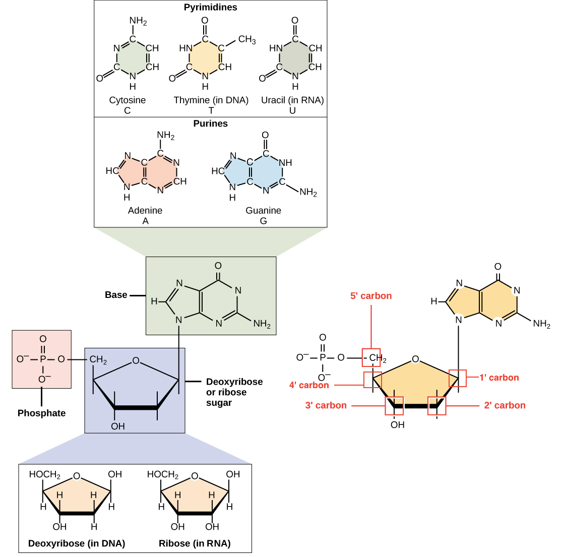 Image of the components of DNA and RNA, including the sugar (deoxyribose or ribose), phosphate group, and nitrogenous base. Bases include the pyrimidine bases (cytosine, thymine in DNA, and uracil in RNA, one ring) and the purine bases (adenine and guanine, two rings). The phosphate group is attached to the 5' carbon. The 2' carbon bears a hydroxyl group in ribose, but no hydroxyl (just hydrogen) in deoxyribose.