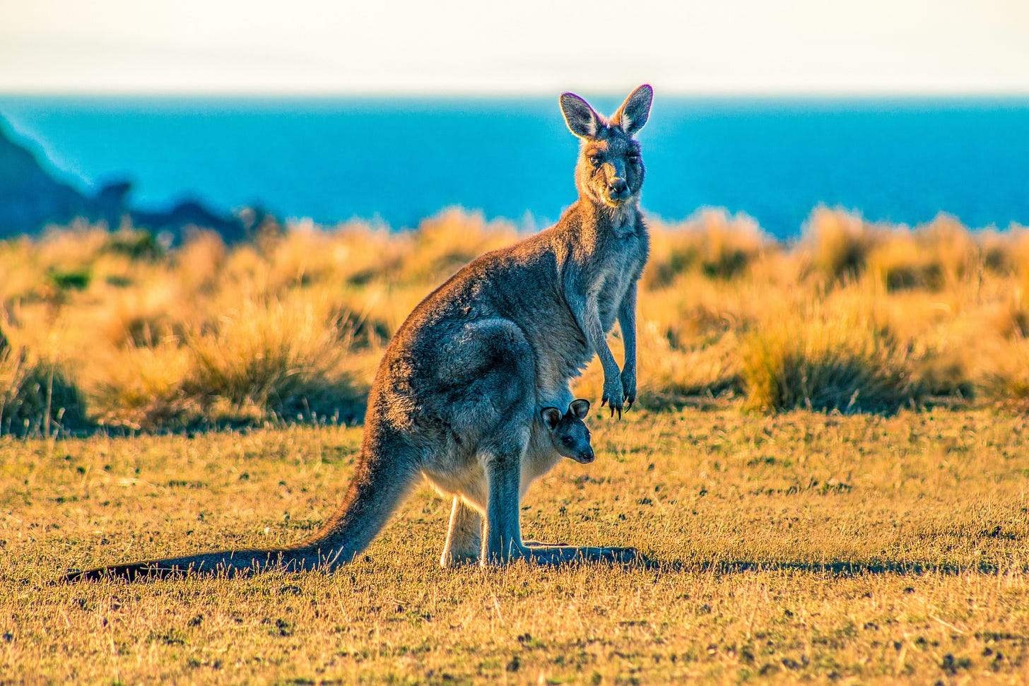 Kangaroo's are native to the region of North Queensland, Australia. Home of the people who speak Guugu Yimithirr.