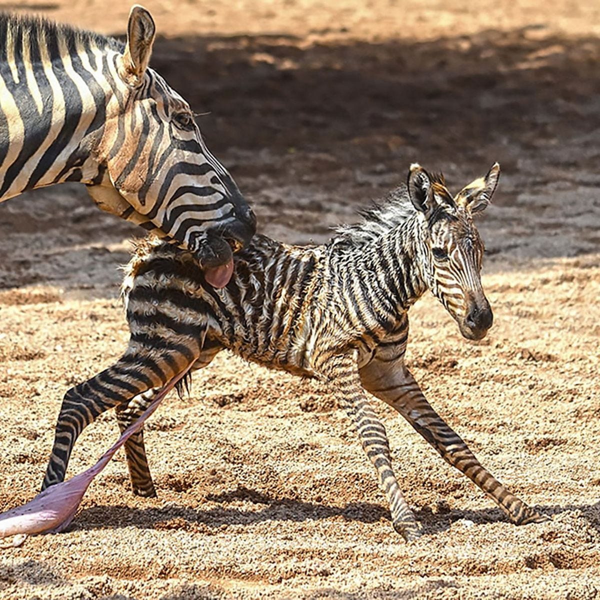 Newborn zebra's life saved by zookeepers as it starts to drown seconds  after birth - World News - Mirror Online