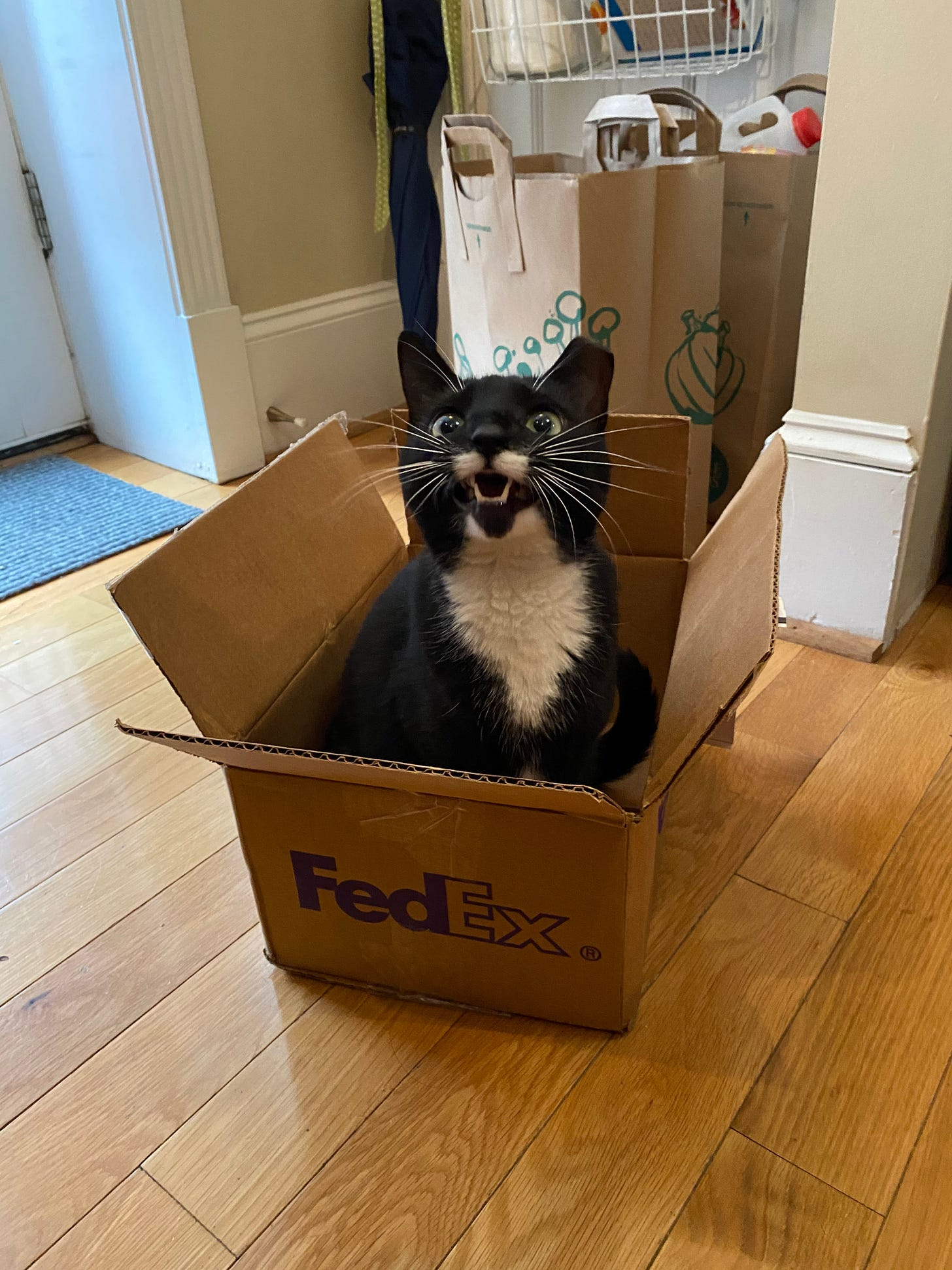 A black and white cat sits in a small box and meows at the photographer. She has little fangs.