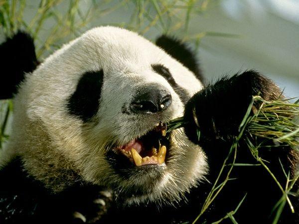 giant-panda_543_600x450