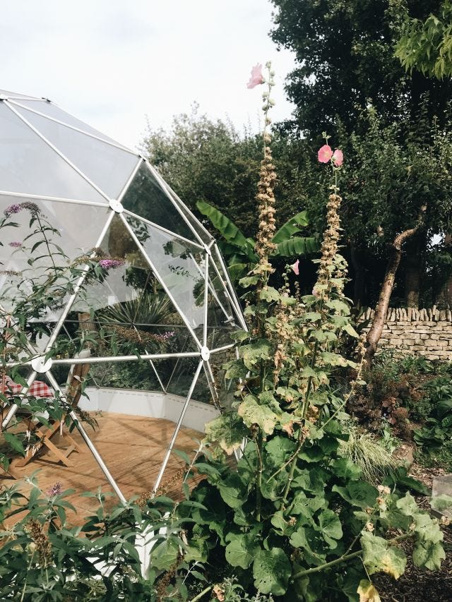 Althaea rosea towering next to the garden's geodesic dome