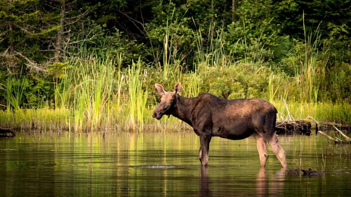 moose stands in pond