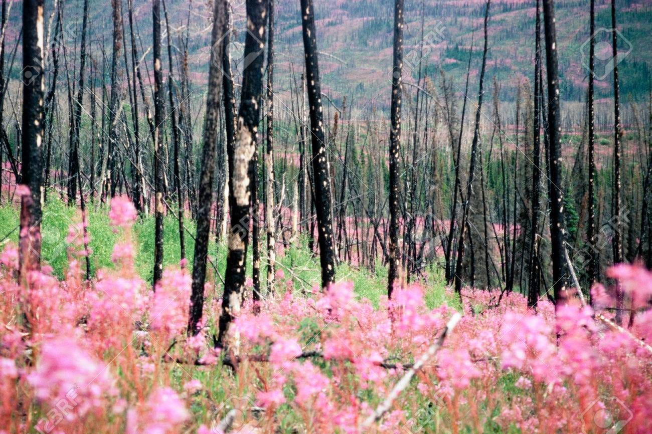 Blooming Fireweed, Epilobium Angustifolium, Begins Cycle Of Life.. Stock  Photo, Picture And Royalty Free Image. Image 50006062.