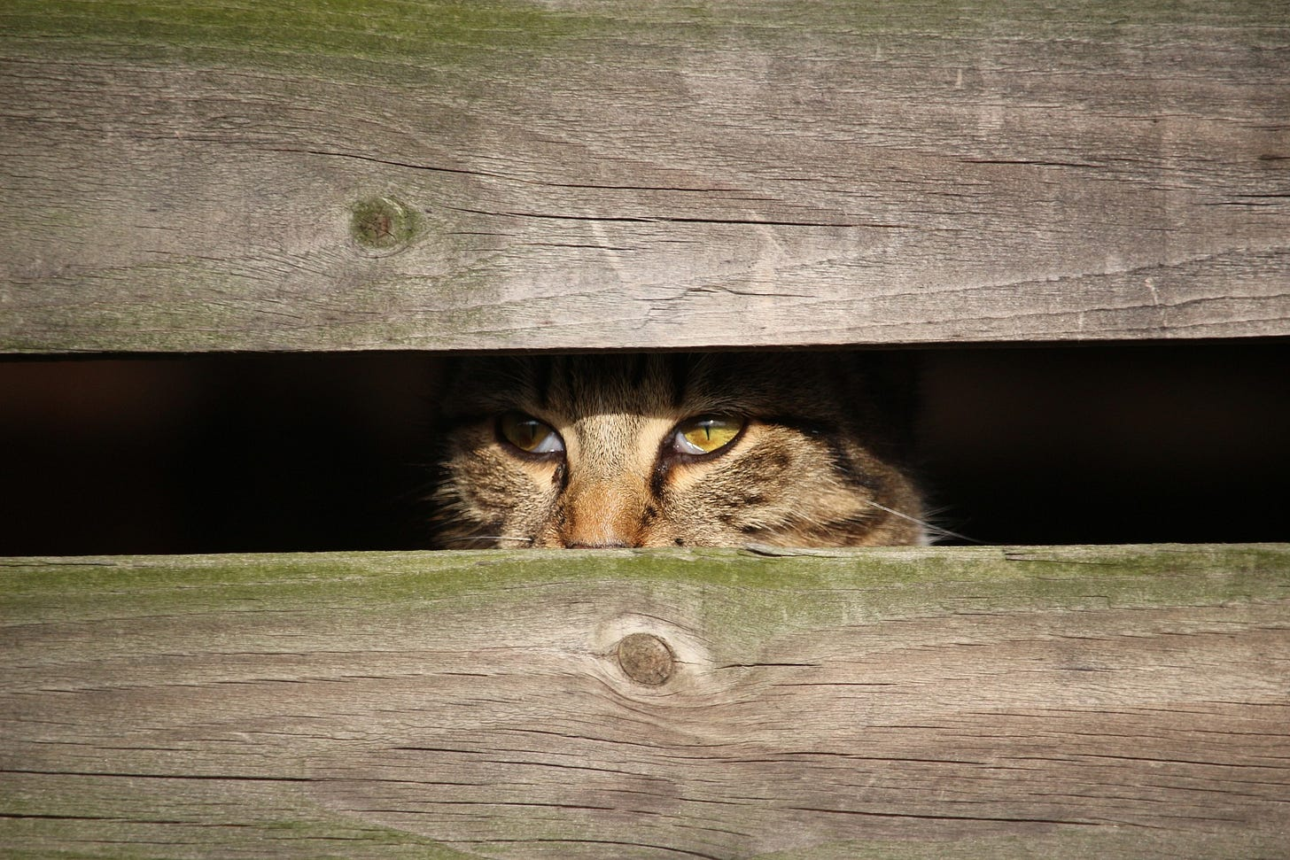 Cat peering out from between two boards.