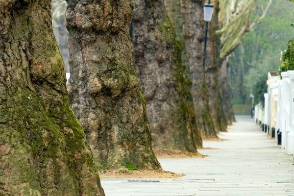 Mature street trees