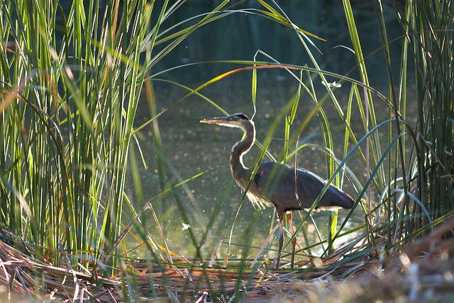 Great Blue Heron at Mojave Narrows, photo by Matt Curtis, some rights reserved
