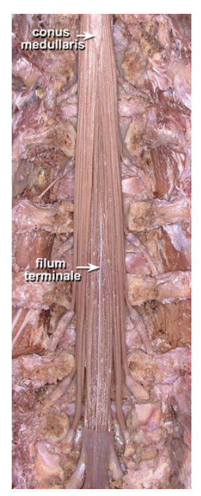A Visual Tour Of The Lumbar Nerve Roots The knowledge is essential to understand the pathophysiology of the nerve root compression and its consequences. a visual tour of the lumbar nerve roots