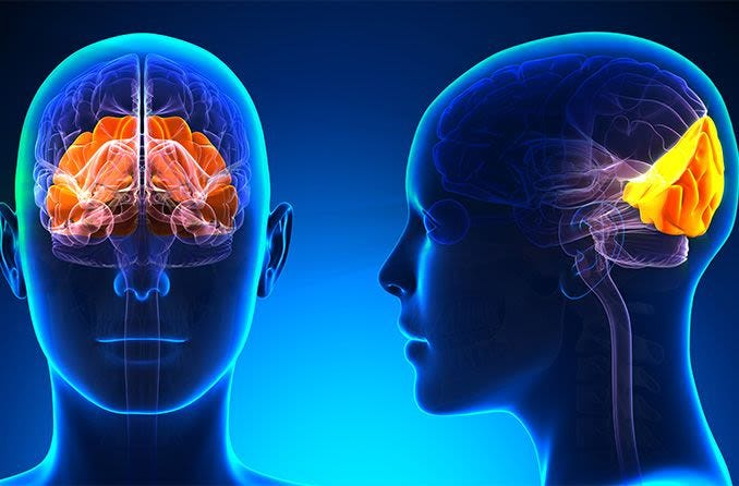 What part of the brain controls vision?