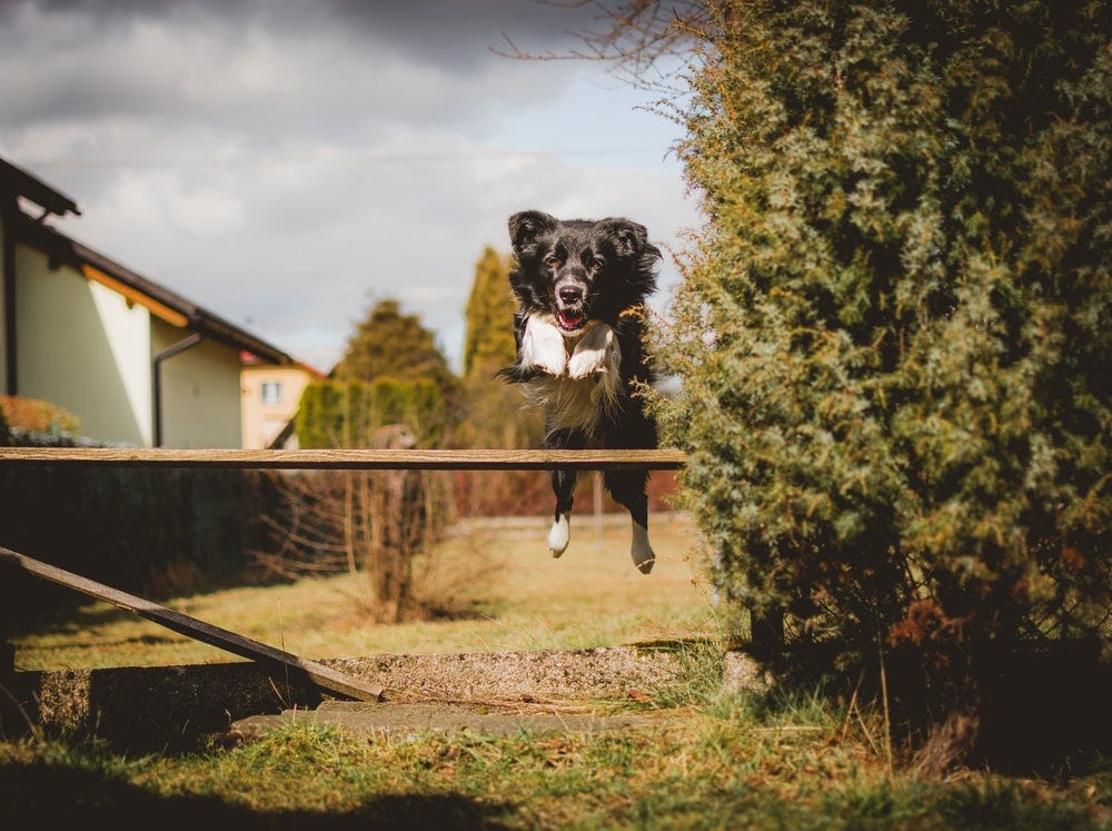 dog jumping over wood plank