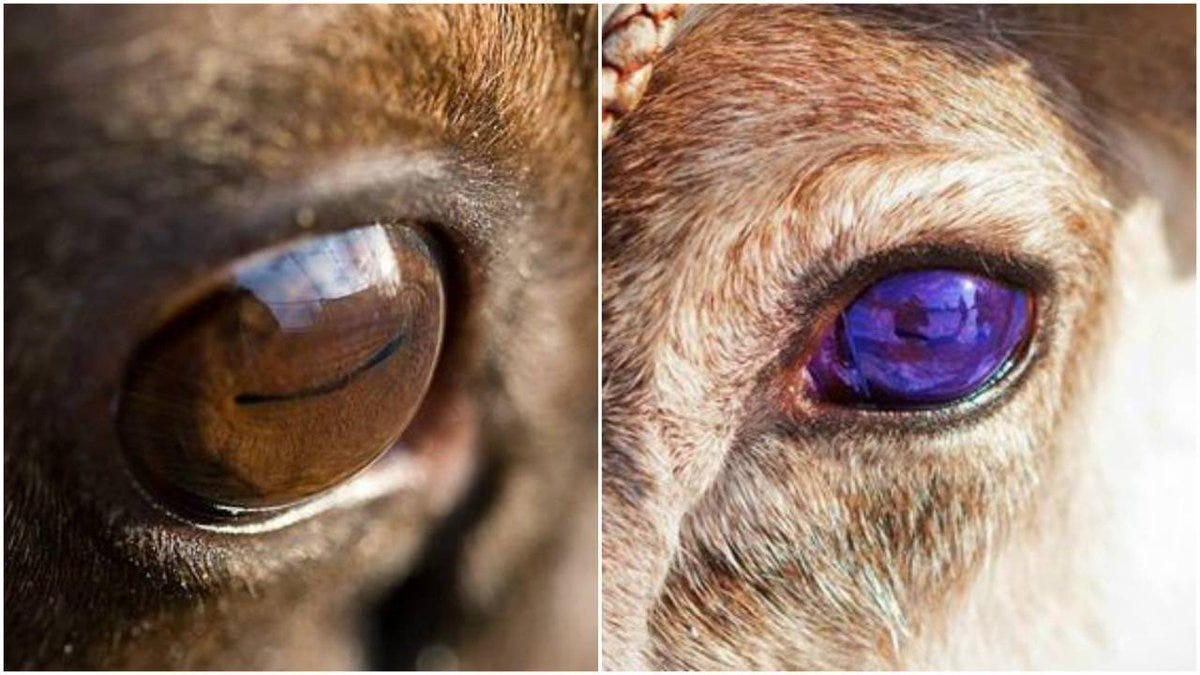 "Science girl on Twitter: ""Reindeer eyes turn blue in winter. The bit that  changes is the tapetum lucidum. This is a mirrored layer behind the retina,  which help animals see in dim"