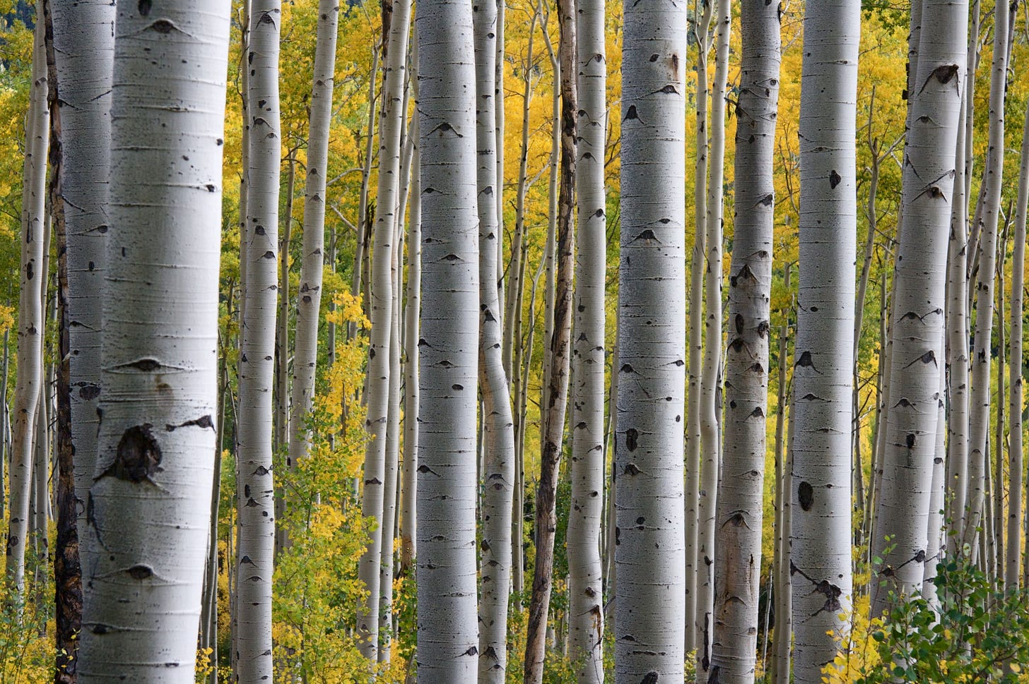 closeup image of the trunks of silver birch trees for article by Larry G. Maguire