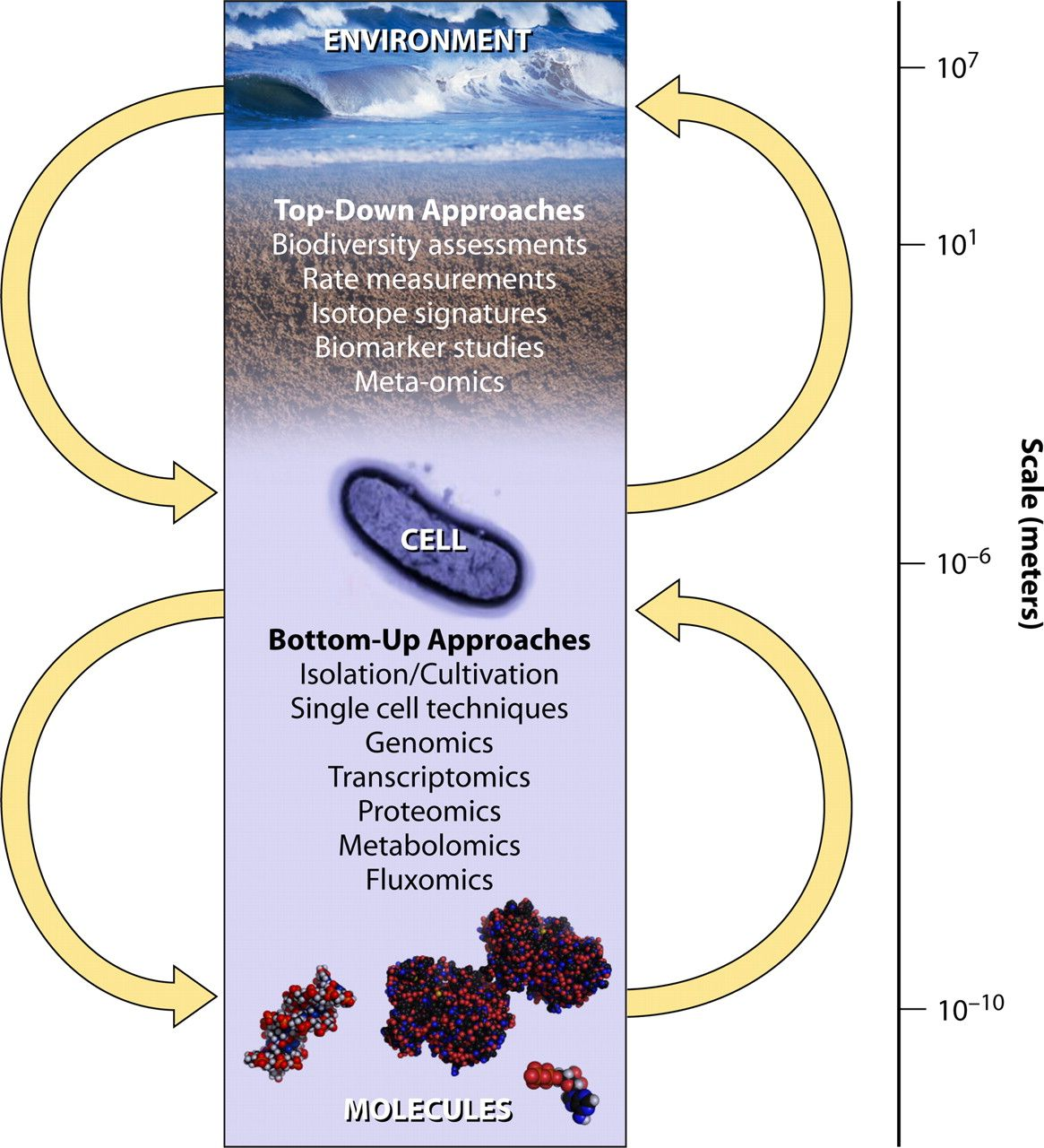 """Top-down and  bottom-up approaches in microbial ecology, spanning orders of magnitude in spatial resolution. Top-down approaches (including but not limited to biodiversity assessments, rate measurements, isotope signature determination, and various """"-omics"""" studies) utilize data sets which are in general not organism (individual) specific. Interpretation of these data often relies on previous knowledge (e.g., in the form of a molecular biology database). Bottom-up approaches (e.g., cultivation or single-cell techniques and various """"-omics"""" methods) focus on single organisms. Knowledge gained by studying individual organisms or defined communities is consequently extrapolated to larger communities and the environment. Both concepts have advantages and limitations (see text) and are clearly dependent on the scientific goal."""