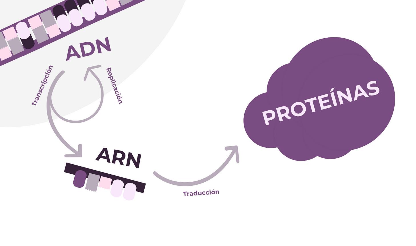 De gen a carácter: el dogma central de la biología molecular - Genotipia