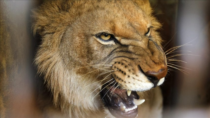 Lions kill game tracker at South African wildlife reserve
