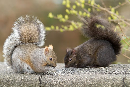 Image result for squirrel colors