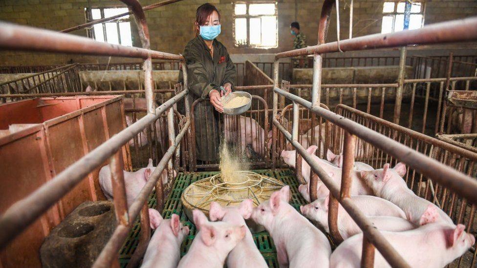 Resultado de imagem para pigs huawei