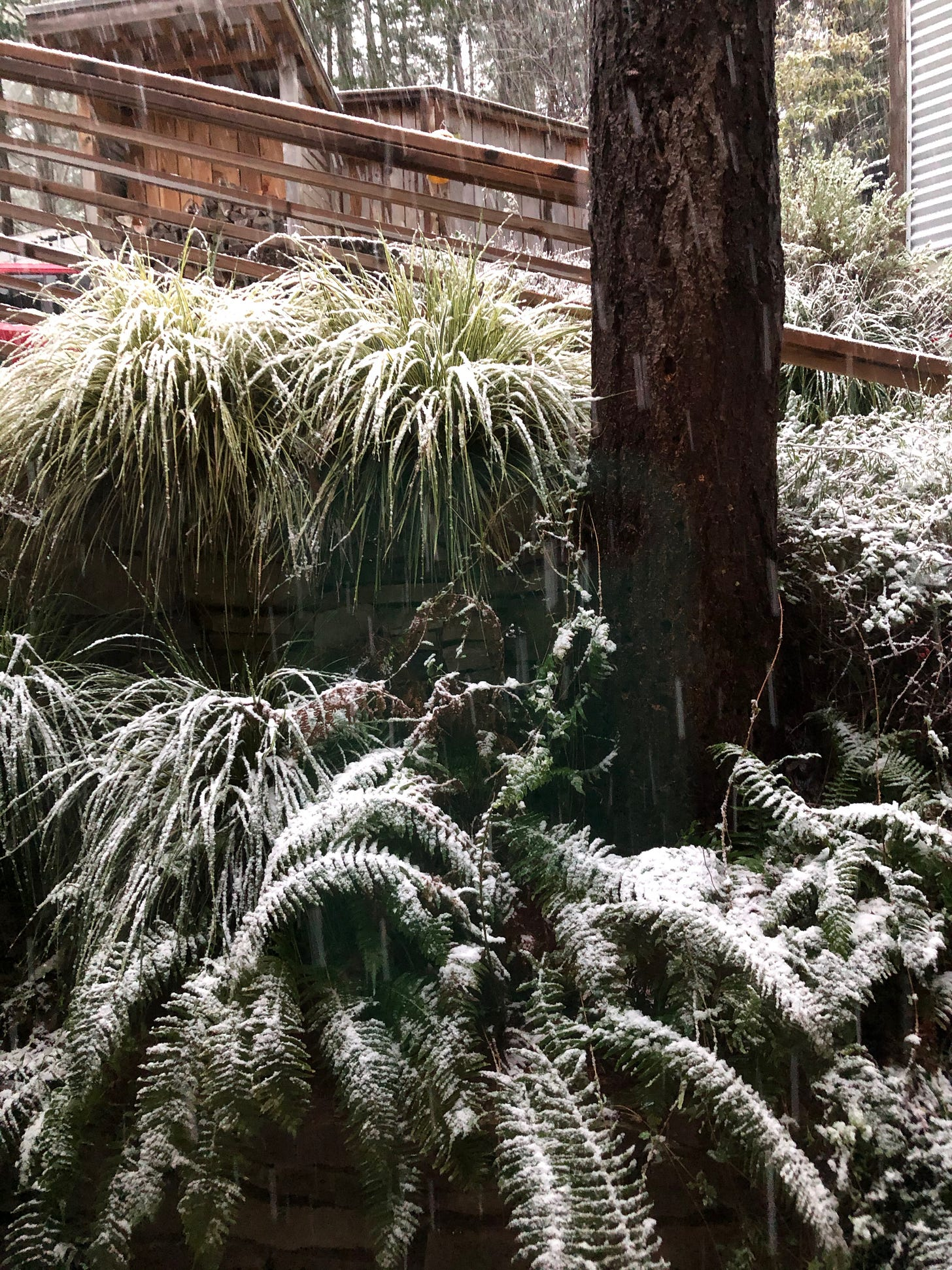 Morning snow blankets the garden on Salt Spring Island