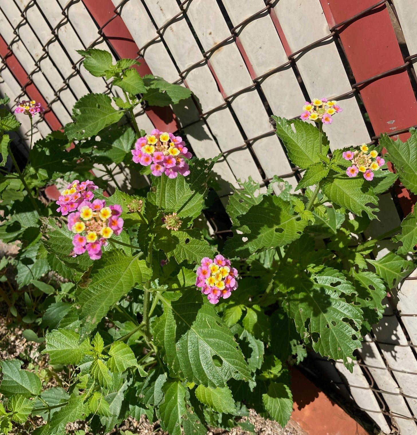 photo of Confetti Lantana plant, an amazing flowering desert bush