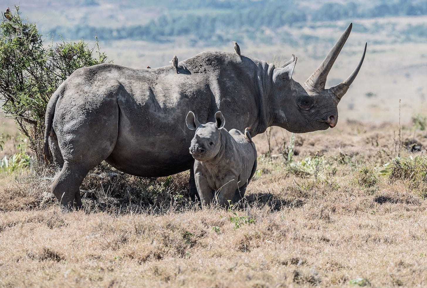 Black rhinos. A mother and baby black rhino in Lewa Conservancy ...
