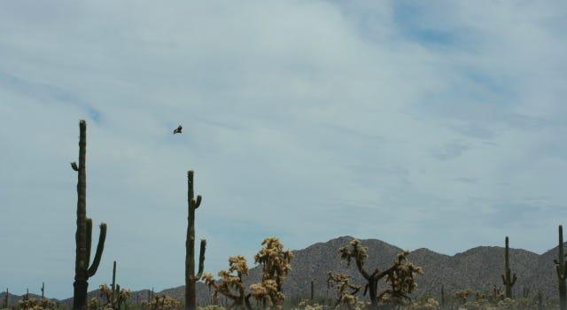 Harris' hawk above the Cabeza Prieta