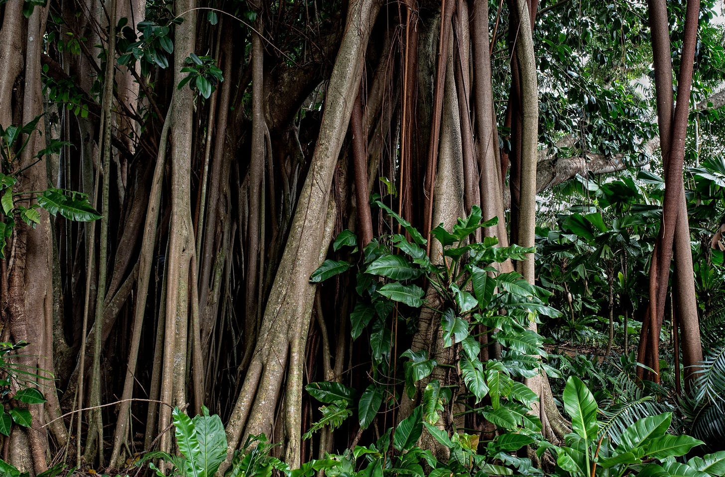 A Philodendron climbs up the trunks of a Rubber tree, Ficus elastica.