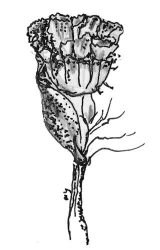ink and pencil drawing of a flower