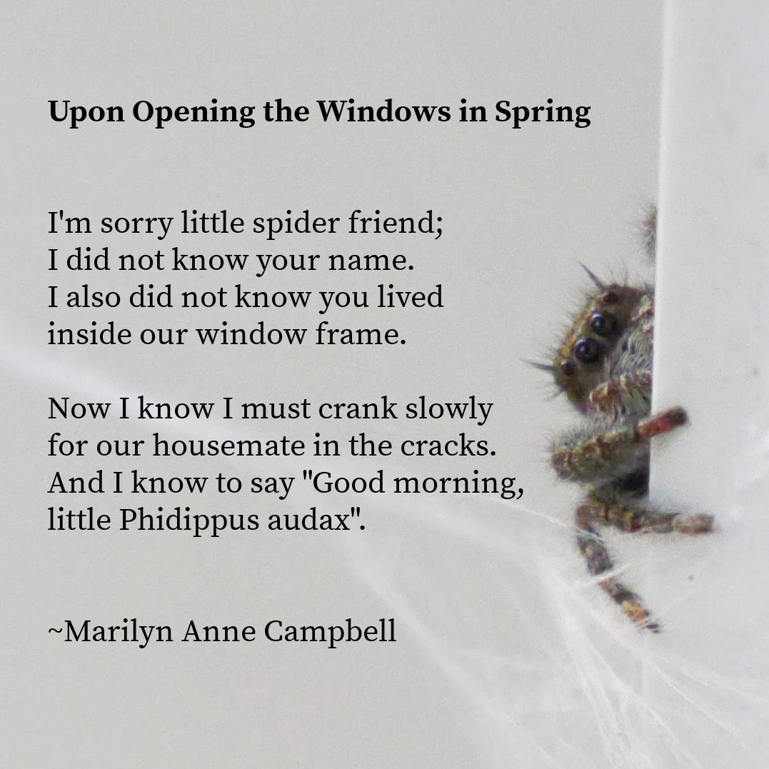 """Photo of a small jumping spider peering around the corner of a window frame. A poem is titled Upon Opening the Windows in Spring. The poem reads: I'm sorry little spider friend; I did not know your name. I also did not know you lived inside our window frame. Now I know I must crank slowly for our housemate in the cracks. And I know to say """"Good morning, little Phidippus audax"""". By Marilyn Anne Campbell."""