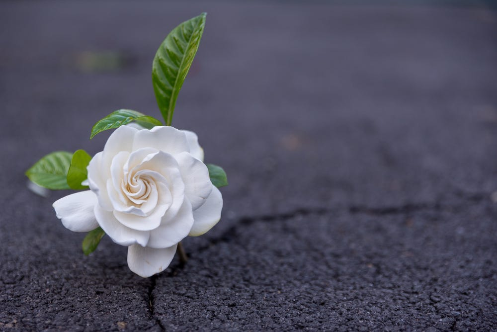 A rose growing out of a crack in asphalt that's supposed to show resilience but is obviously a flower stuck into a crack